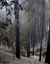 Burned redwoods soon after the Basin Fire in Big Sur, Calif.