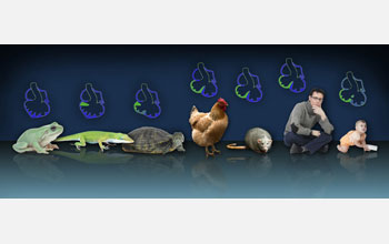 A panorama of animals and embryonic heart diagrams showing evolution from frog to human.