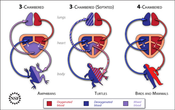 Diagram shows separation of oxygenated and deoxygenated blood in the heart of three animal types.