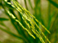 Photo of basmati rice before harvest.