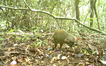 Photo showing an agouti caught in the act of stealing seeds from another's cache.