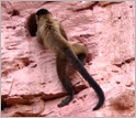 Capuchin monkey on a cliff face