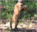 Capuchin monkey stands erect while pounding a palm nut