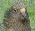 Kea, New Zealand Mountain Parrot