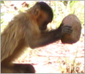 Capuchin monkey cracks a nut