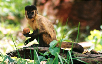Capuchin monkey holds a palm nut