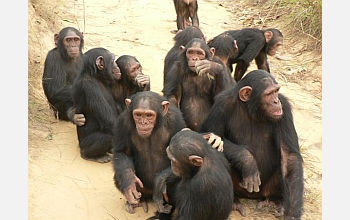 Chimpanzees will be tested on their knowledge of goals and interactions.