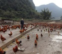 Scientist Peter Daszak surrounded by roosters and hens at a farm in China.