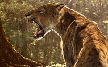Reconstruction of the extinct saber-toothed cat.