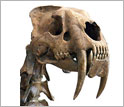 Photo of the skull of a saber-toothed cat showing its extremely long canine teeth.