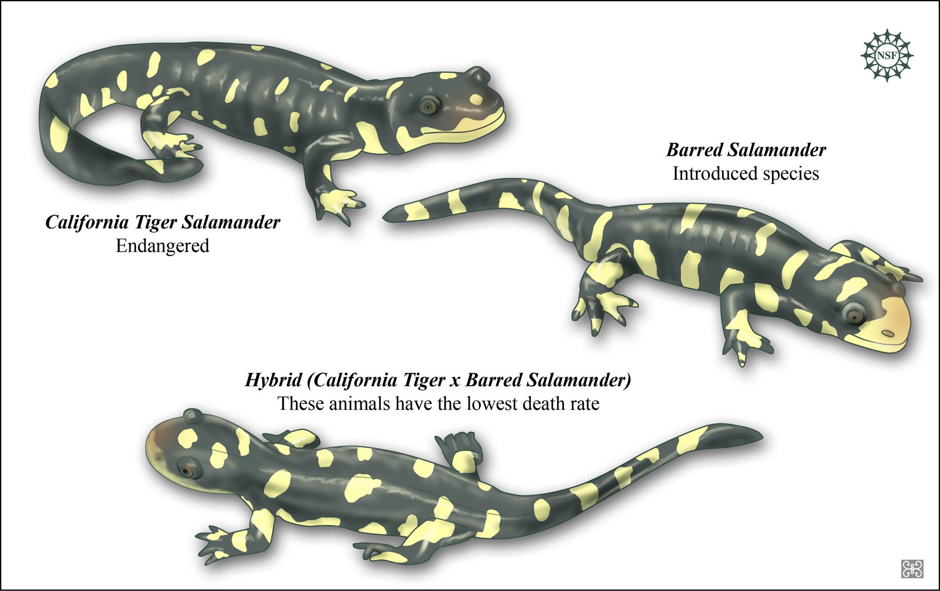 Interbreeding Between Invasive And Native Salamander Species Creates