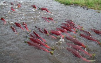 Red sockeye salmon in the river