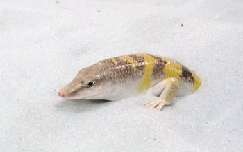 a sandfish in the sand