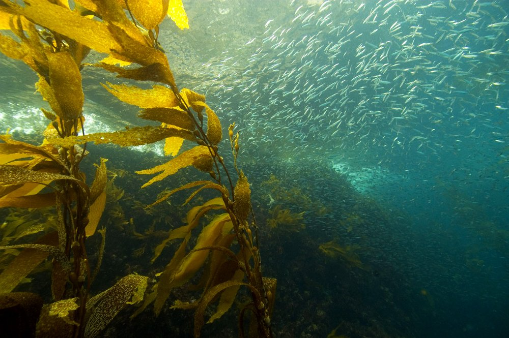 NSF Coastal SEES awardees are studying climate change effects on California Current fisheries.