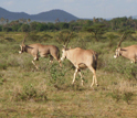 Wooded grassland typical of East Africa; here with oryx in Samburu National Reserve, Kenya.