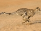 cheetah running across plain