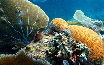 sea fans gently sway in a healthy bed of coral