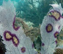 A sea fan  with dark purple inflammation.
