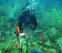 Researcher Colleen Burge diving to prepare sea fans for a lab experiment