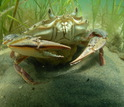 Seagrasses provide critical habitat for crabs and other aquatic life.