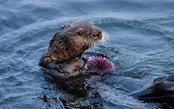 a southern sea otter