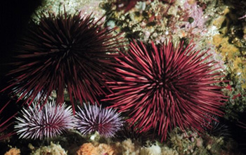 a pair of red sea urchins