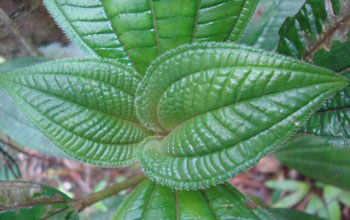 Image of a Miconia racemosa seedling growing in forest understory in Puerto Rico.