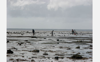 Photo of Tongans collecting shellfish on the reef at low tide in Ha'apai.