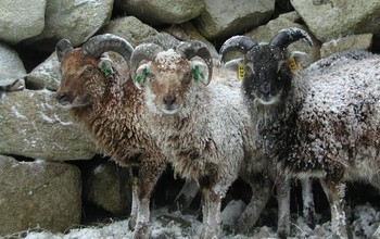 Soay sheep in driving rain in the St. Kilda Archipelago in Scotland, a research site in the study.