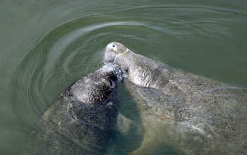 Photo of manatees swimming in Florida waters.