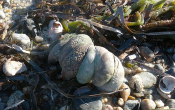 Atlantic slipper limpets