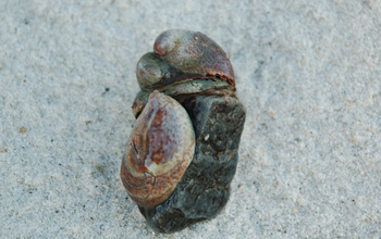 Photo of an Atlantic slipper limpet