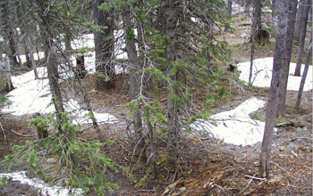 Photo of a forest floor with patches of snow.