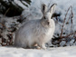 A hare sits on snow-covered ground.