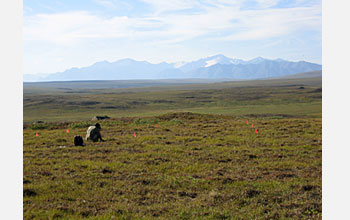 Photo of a researcher collecting soil samples at the Arctic LTER site.