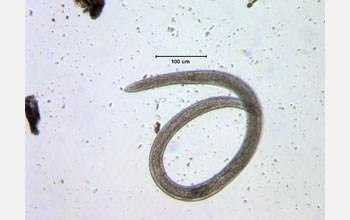 Photo of a nematode worm is extracted from tundra soil near Toolik Lake.