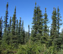 Photo of Spruce trees at the Bonanza Creek LTER site.