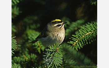 Photo of a golden-crowned kinglet.