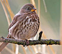 Photo of a fox sparrow.