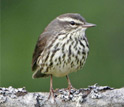 Photo of a northern waterthrush.