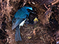 an indigo flycatcher visits its nest