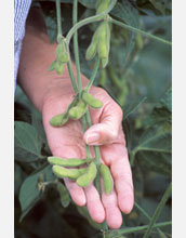 Photo of a hand holding pods of soybean.
