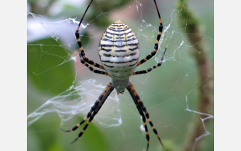 Photo of a banded garden spider waiting for prey to become entangled in its web.