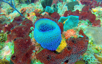 A diverse community of marine sponges on a coral reef in St. Croix, U.S. Virgin Islands.
