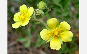 Photo of cinquefoil in Colorado.