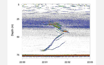 Echogram shows two groups of squid swimming to meet each other in the middle forming a large group.