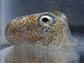 adult Hawaiian bobtail squid