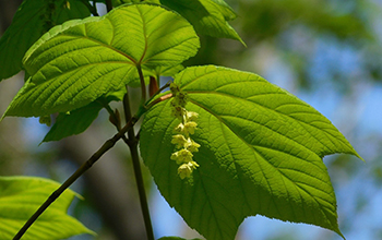 striped maple tree leaves and flowers