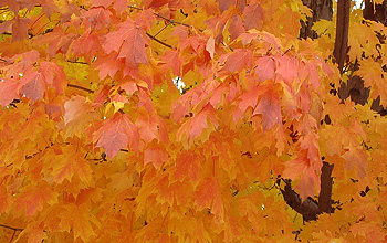 Photo of sugar maple trees