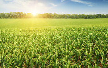 Field of corn in the sun